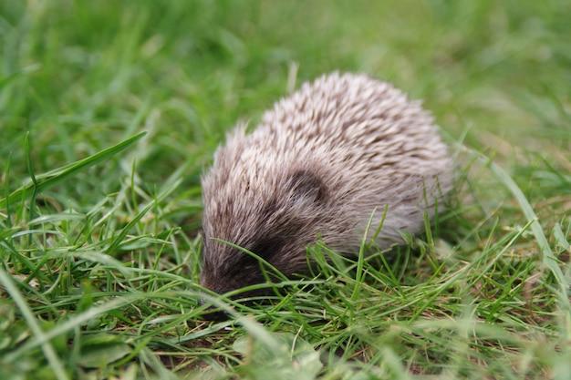 Um pequeno bebê ouriço fofo na grama verde