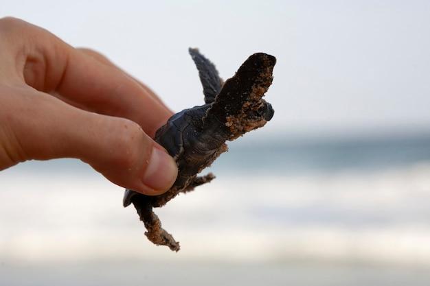 Um pequeno bebê tartaruga cabeçuda do mar (caretta carretta) é segurada por um turista na praia para proteger, incubando uma nova vida,