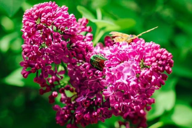 Um pequeno besouro verde senta-se em um galho de uma flor lilás lilás.