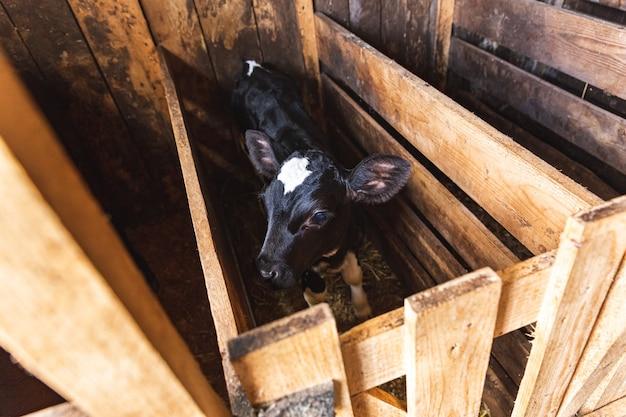 Um pequeno bezerro preto com uma mancha branca na testa está sozinho em um estábulo de vacas, agricultura, criação de gado.