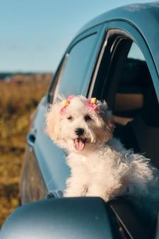 Um pequeno cachorrinho poodle francês feliz com grampos de cabelo olhando pela janela de um carro com a língua para fora