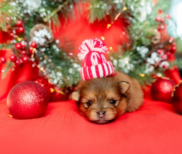 Um pequeno cachorrinho recém-nascido encontra-se sobre um fundo vermelho entre as decorações de natal
