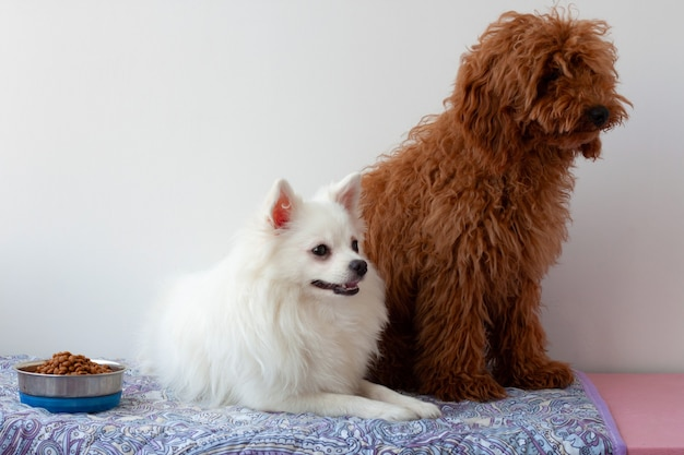 Um pequeno cachorro branco da pomerânia está deitado no tapete ao lado de uma tigela de comida de um lado e um poodle vermelho em miniatura está sentado do outro lado