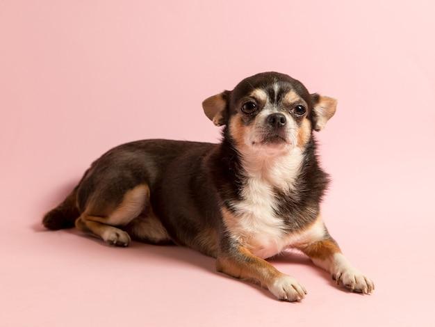 Um pequeno cachorro chihuahua em um fundo rosa. desvia o olhar, um espaço em branco para anunciar uma loja de veterinários. copie o espaço.