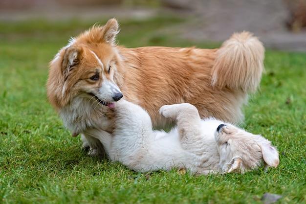 Um pequeno cachorro golden retriever brinca com welsh corgi pembroke em uma grama verde