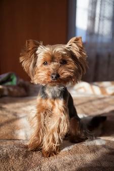 Um pequeno cachorro yorkshire terrier no interior da casa é iluminado pelos raios do sol