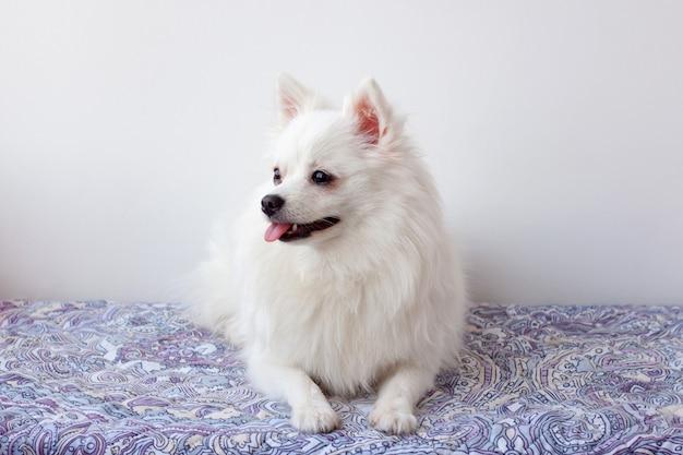 Um pequeno cão branco da pomerânia com a língua para fora está deitado no tapete, olhando para o lado.