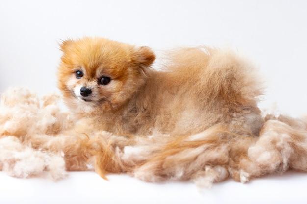 Um pequeno cão da pomerânia encontra-se em uma pilha de lã tosquiada.