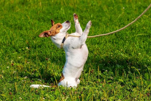 Um pequeno cão de raça parson-russell terrier em uma coleira fica em suas patas traseiras. cachorro no parque durante uma caminhada