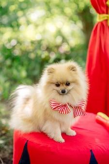Um pequeno cão fofo de raça pura fica em pé na banca vermelha