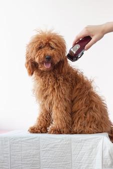 Um pequeno cão, um poodle miniatura de cor marrom avermelhada, peludo e peludo, senta-se em uma superfície branca acima dele com uma mão com uma tesoura. tratamento de cães.