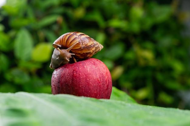 Um pequeno caracol achatina com uma concha marrom rastejando sobre uma maçã vermelha brilhante molhada, deitado sobre uma folha verde molhada entre close-up de vegetação