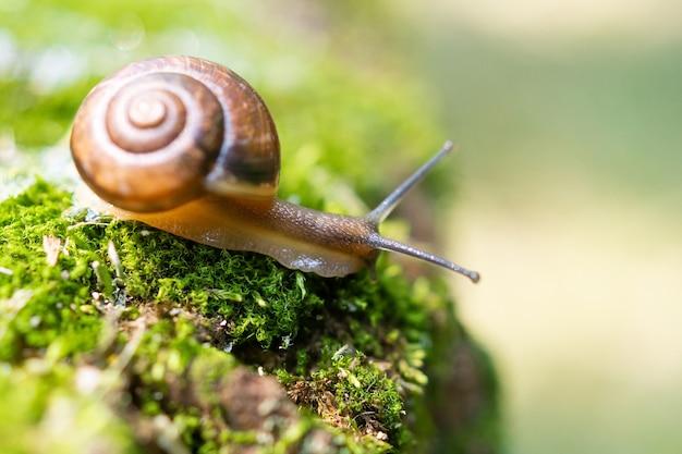 Um pequeno caracol achatina sentado em um toco inclinou sua pia marrom. olhos de bigode tocam a grama. caracol na natureza.