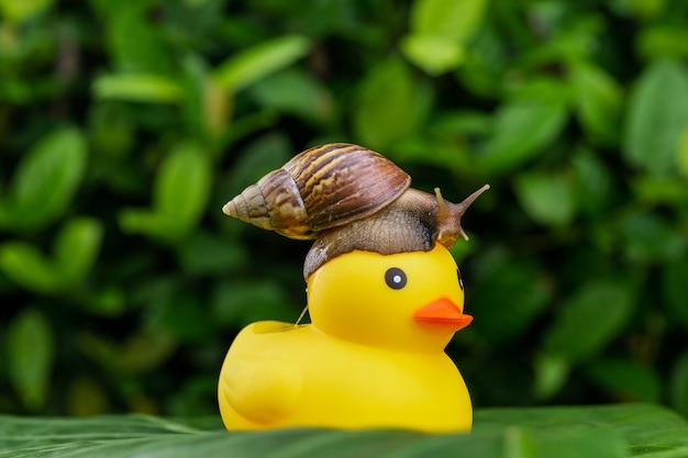 Um pequeno caracol achatina sentado no topo de um pequeno pato de borracha amarelo posando entre folhagem verde molhada