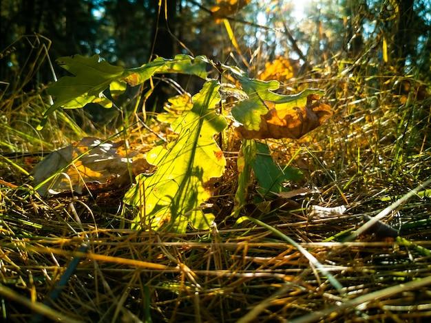 Um pequeno carvalho de fundo de outono bonito cresce sob os raios de sol na floresta de outono