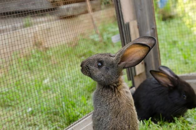 Um pequeno coelho cinzento, de 2 meses de idade, da raça flandres, ergue-se num curral na relva verde. paisagem natural, foco seletivo