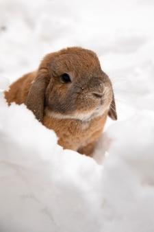 Um pequeno coelho decorativo da raça carneiro está sentado e cava um buraco. um coelho bonito na neve branca do inverno.