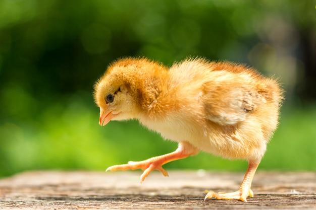Um pequeno frango marrom fica em um fundo de madeira, seguido por um fundo verde natural