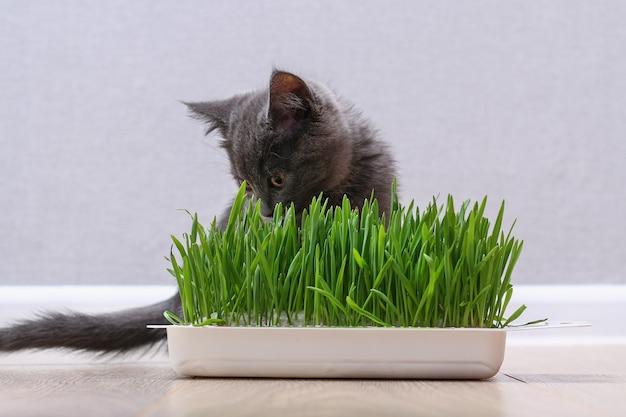 Um pequeno gatinho cinza come grama verde para criar pelos, o gato come aveia, fonte de vitaminas