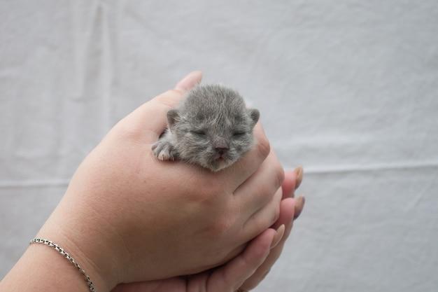 Um pequeno gatinho recém-nascido cego nas mãos de mulheres.