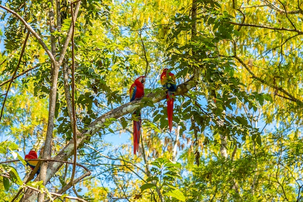 Um pequeno grupo de araras nas árvores em copan ruinas em honduras