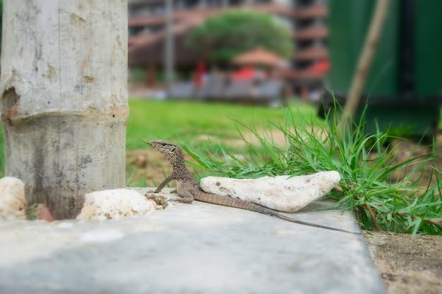 Um pequeno lagarto cinzento bonito olha para a câmera e fica em uma pedra. fechar-se