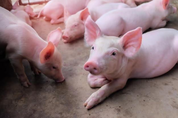 Um pequeno leitão na fazenda. grupo de mamíferos espera alimentar