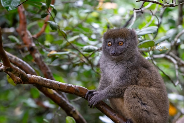 Um pequeno lêmure no galho de uma árvore na floresta tropical