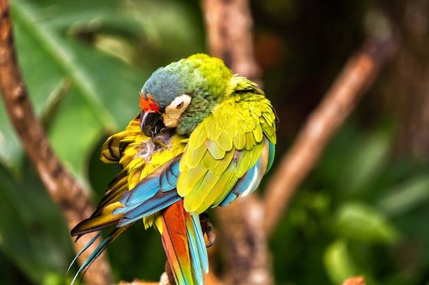 Um pequeno papagaio arlequim no parque nacional no brasil