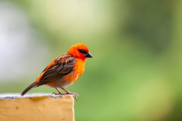 Um pequeno pássaro local vermelho nas seychelles