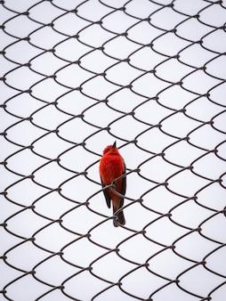 Um pequeno pássaro vermelho passeriforme está posando para a câmera