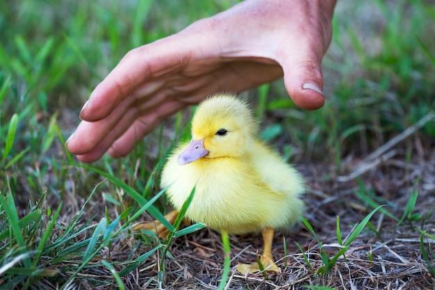 Um pequeno patinho amarelo e a mão de uma mulher sobre ele para protegê-lo