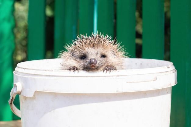 Um pequeno porco-espinho olhando para fora de um velho balde branco