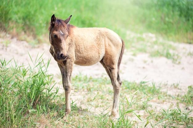 Um pequeno potro pasta na rua no verão. criança cavalo comendo grama e caminhando