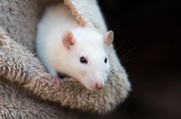 Um pequeno rato branco no bolso de uma jaqueta com uma cópia do espaço.