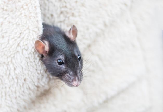 Um pequeno rato cinza no bolso de uma jaqueta com uma cópia do espaço