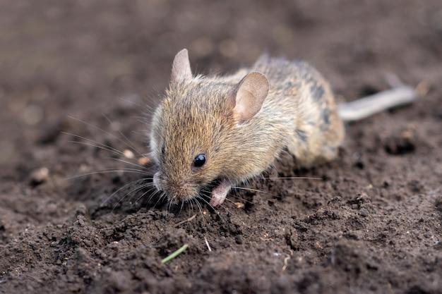 Um pequeno rato na superfície do solo em tempo ensolarado