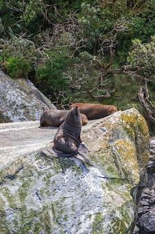 Um pequeno rebanho de focas está descansando em uma enorme rocha da ilha do sul