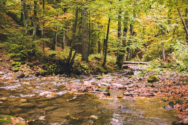 Um pequeno riacho na floresta de faias no outono. as folhas caídas. troncos e rochas velhas cobertas de musgo.