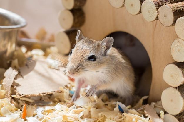 Um pequeno roedor doméstico de gerbil espreita para fora de sua casa de madeira em uma gaiola de serragem