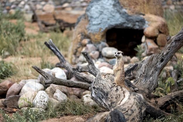 Um pequeno suricato fofo em pé no velho tronco