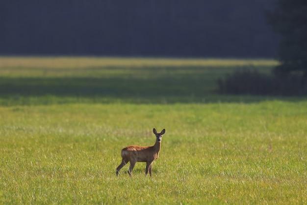 Um pequeno veado selvagem em um campo verde na floresta
