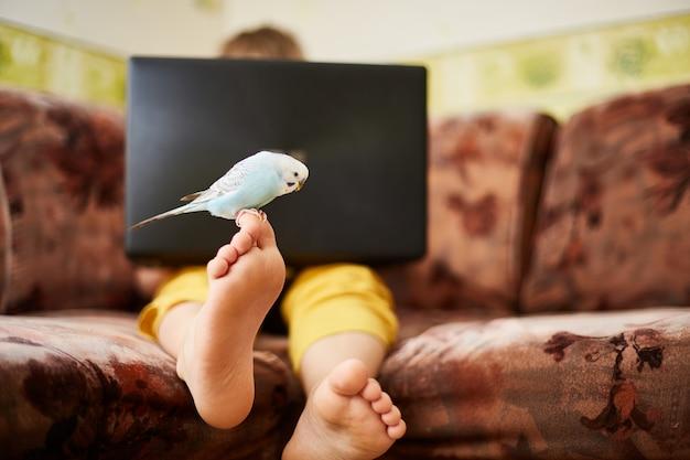 Um periquito azul está sentado na perna de um adolescente que estuda em casa ou toca em um laptop durante a quarentena de uma infecção por coronovírus.