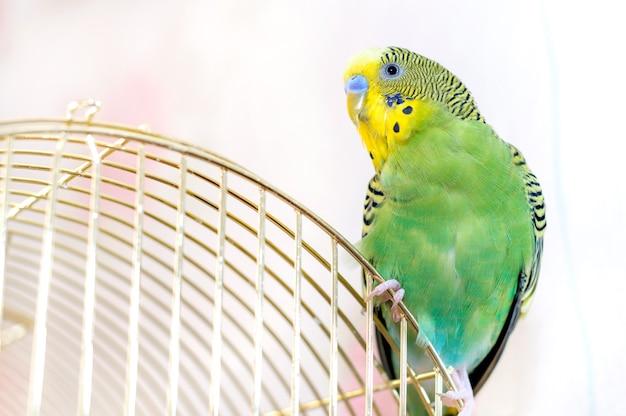 Um periquito verde (periquito doméstico)