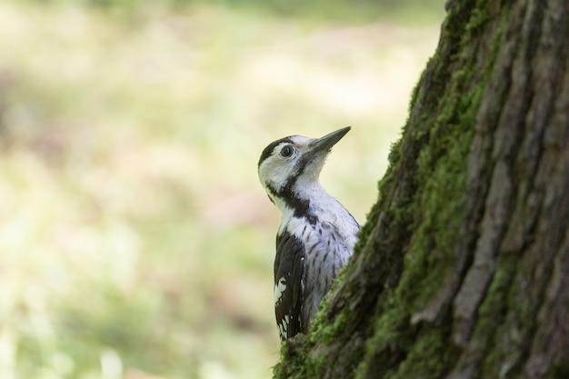 Um pica-pau-malhado macho (dendrocopos major) à procura de insetos na lateral de uma árvore