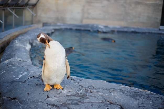 Um pinguim de rei no jardim zoológico de asahiyama, asahikawa, hokkaido, japão.