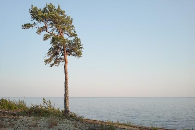 Um pinheiro solitário na região norte. paisagem nórdica