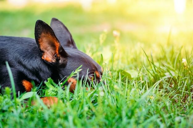 Um pinscher miniatura esconde na grama verde