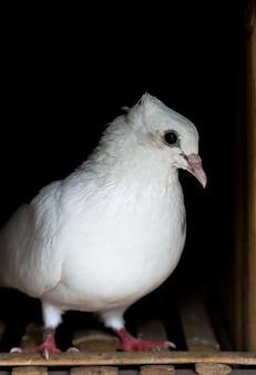 Um pombo branco parado dentro de um loft de perto