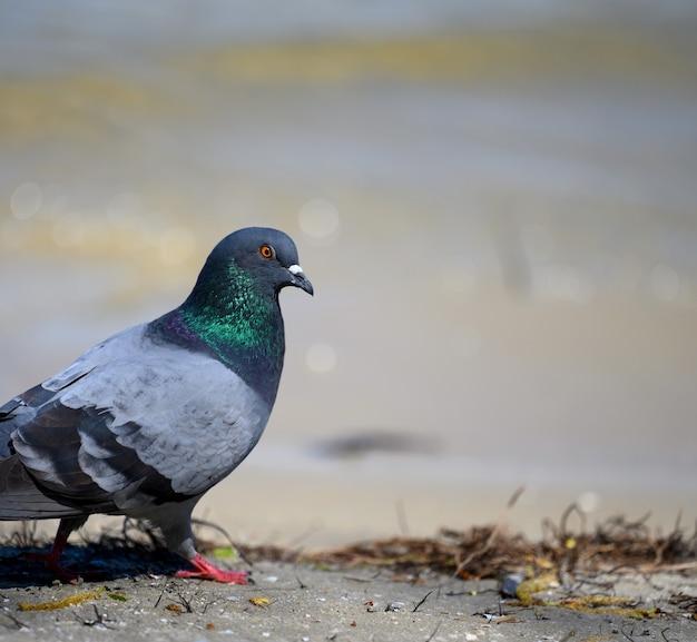 Um pombo da cidade anda no chão em um dia de verão, de perto